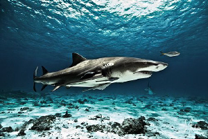 Loving Tiger Beach and the Lemon Sharks which make this l... by Steven Anderson