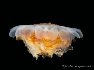Lion's mane jellyfish (Cyanea capillata) by Jorn Ari
