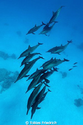 Spinner dolphins. by Tobias Friedrich