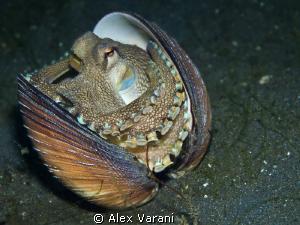Amphioctopus marginatus (coconut octopus) by Alex Varani
