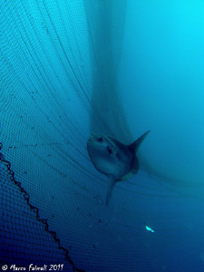 Moonfish in the net.....(Mola mola) by Marco Faimali