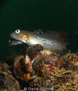 Round Goby. Invasive species to the Great Lakes. Lake Ont... by David Gilchrist