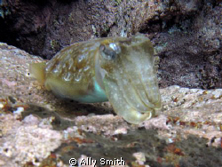 Cuttle Fish Taken at Las Eras off Tenerife with Canon G9 ... by Ally Smith