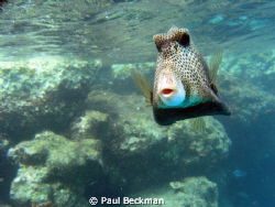 He kept coming up to within a foot or so of my camera to ... by Paul Beckman