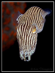 Striped Pyjama Squid at Nelson Bay, Australia by Ken Thongpila