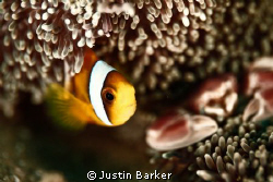Clown fish with its host and porcelain crab in the backgr... by Justin Barker