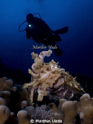 diver cuttle by Marthin Uada