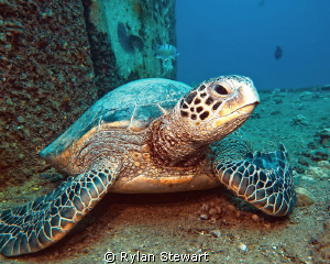 A very stately honu rests on top of the Sea Tiger wreck by Rylan Stewart
