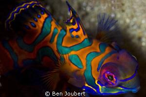 Mandarin Fish... a true test of your patience... by Ben Joubert