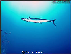 """Solo"" SAW FISH @ Guanica's Fallen Rock Dive Site. Olympu... by Carlos Pérez"