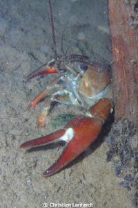 crayfish around the corner by Christian Lenhardt