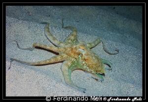 Octopus vulgaris. by Ferdinando Meli