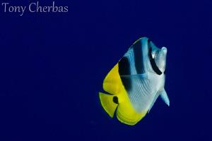 Blue+Yellow by Tony Cherbas