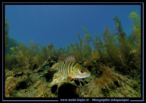Face to face with this very curious Perch... :O)... by Michel Lonfat