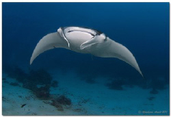 Manta ray at Fairy Tale, a divespot near Helengeli, North... by Reinhard Arndt