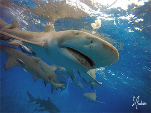 Lemon Sharks at the surface and Lemon Sharks on the botto... by Steven Anderson