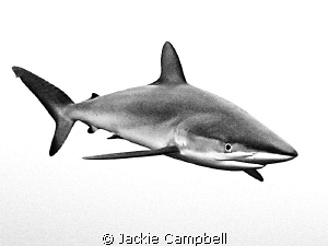 Silky shark under the dive boat in Sudan....converted to ... by Jackie Campbell