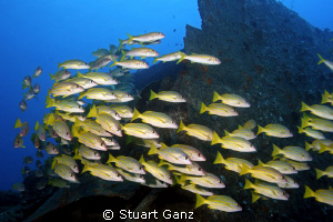 "School of blue stripe snapper on the ship wreck ""Mahi"". by Stuart Ganz"