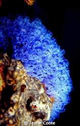 """""""Ascidian Glow"""" Growing on a jetty pylon at Tumby Bay SA. by Jamie Coote"""