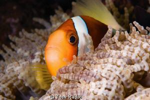 Clown Fish Bali, Indonesia by Tom Radio