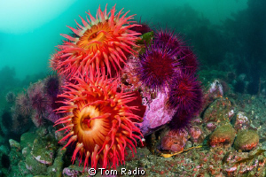 Anemones and Urchins Puget Sound, WA, U.S.A. by Tom Radio