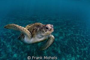 Fly Over  Turtle on the way to take a Breath. by Frank Michels