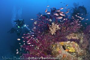 Asytospartus on gorgonia- Isola del Giglio - Italy by Marco Bartolomucci