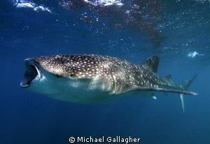 Open wide...whaleshark feeding, Djibouti by Michael Gallagher