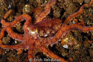 Longarm octopus, Tulamben, Bali by Erich Reboucas