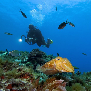 This diver is looking for a good subject. But the cuttlef... by Roland Bach