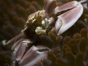 RUN  Anemone Porcelain Crab - Neopetrolisthes maculatus... by Jörg Menge