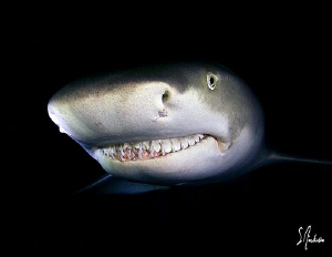 The Lemon Sharks have no worry nor fear at Tiger Beach. T... by Steven Anderson