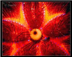 Abstract shot. Top view of a purple heart urchin with a u... by Han Peng Lim
