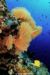 Rich Marine Lifes ... Lots of Fishes and Healthy Gorgonia... by Agung Djaja Rachwan