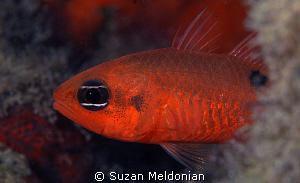 Flamefish emerging by Suzan Meldonian
