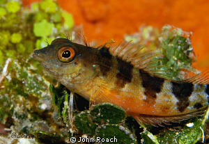 Saddled Blenny  Malacoctenus triangulatus by John Roach
