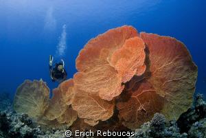 Great fans of the Red Sea by Erich Reboucas