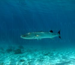 Barracuda off a private MOTU by Moorea, French Polynesia.... by Christopher Ward
