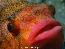 One of last winter. A Cyclopterus lumpus in close up. by John De Jong
