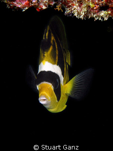 Reccoon Butterfly Fish by Stuart Ganz