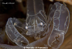 Pontonia Pinnophylax inside Pinna Nobilis Shoted with ca... by Marcello Di Francesco