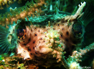 Bridled Burrfish (Chilomycterus antennatus) Perched on a ... by Brad Ryon