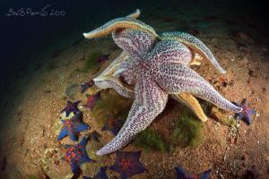 Kama Sutra // spawning of starfishes / Asterias amurensi... by Boris Pamikov
