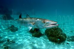 Motu off Moorea, French Polynesia. Barracuda after lunch ... by Christopher Ward