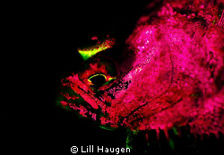 Pink fluorescent flounder, photographed with Glowdive yel... by Lill Haugen