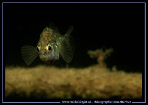 Face to face with this little Threespine stickleback, thr... by Michel Lonfat