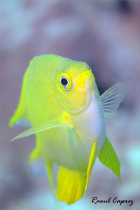A curious yellow one by Raoul Caprez