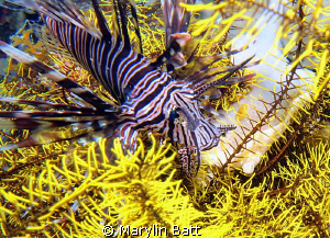 Lion fish perched in this bright yellow crinoid made a ni... by Marylin Batt