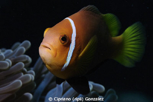 curious anemone fish by Cipriano (ripli) Gonzalez