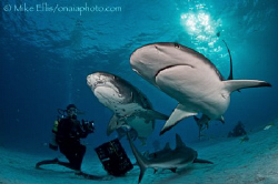 A Tiger and Caribbean Reef shark come in for a close look... by Mike Ellis